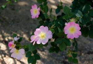 rose-hip2