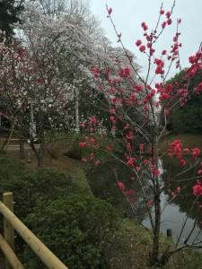 清水公園2015 035